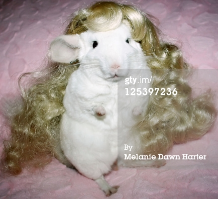 125397236-chinchilla-with-blonde-doll-wig-gettyimages