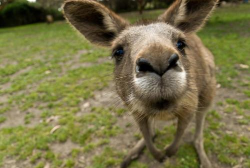 kangaroo1 (18)