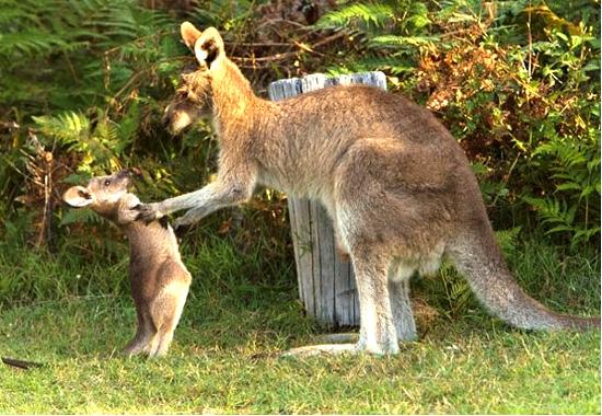 kangaroo_pet (10)