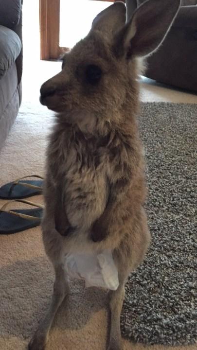 kangaroo_pet (2)