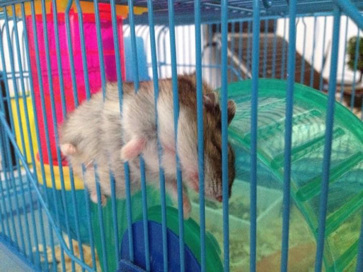 hamster_cute (2)