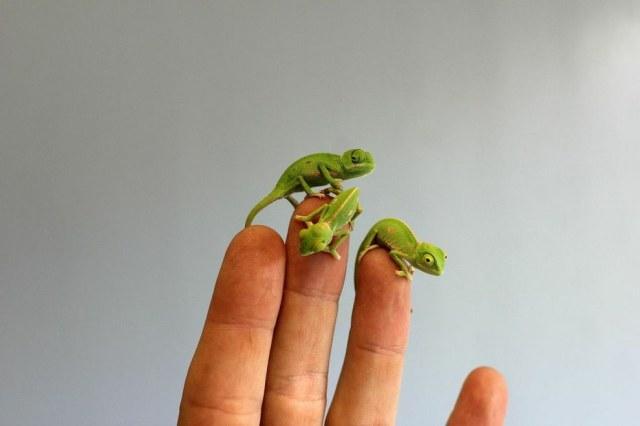chameleonBABY (2)