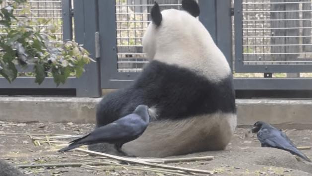 panda_bold2