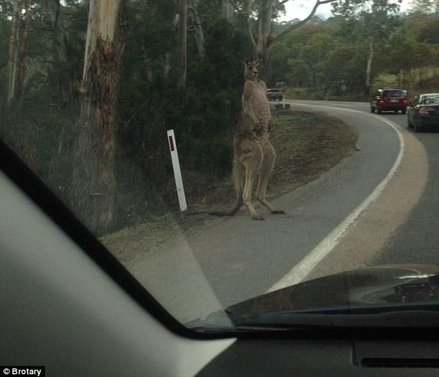 macho_kangaroo