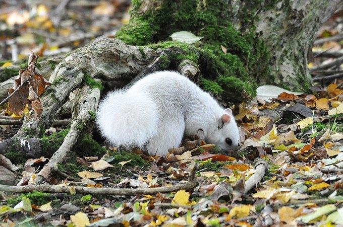 1027white_squirrel3