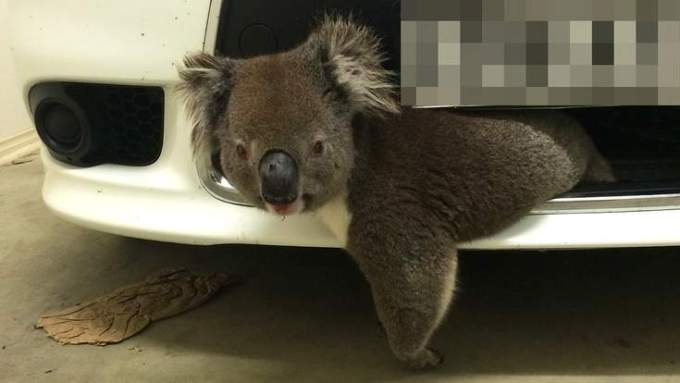 koala_car