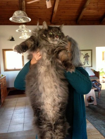 1129maine_coon5