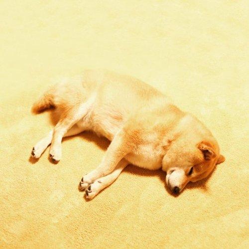 1130maru_shiba_dog1