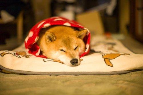 1130maru_shiba_dog8