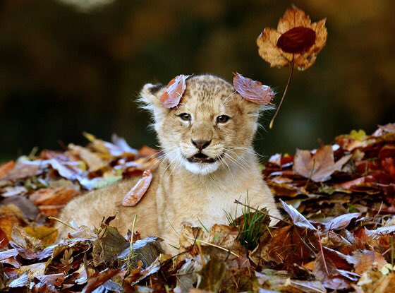 1223lion_leaves4