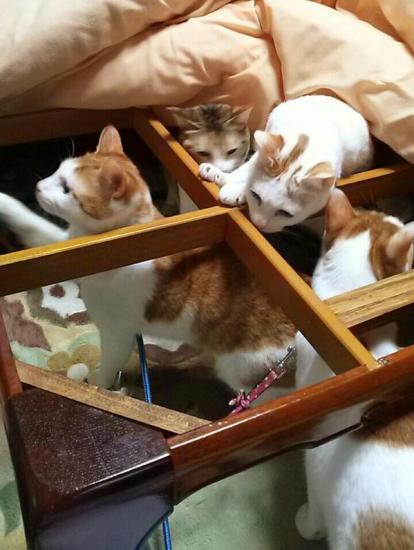 cat_kotatsu1