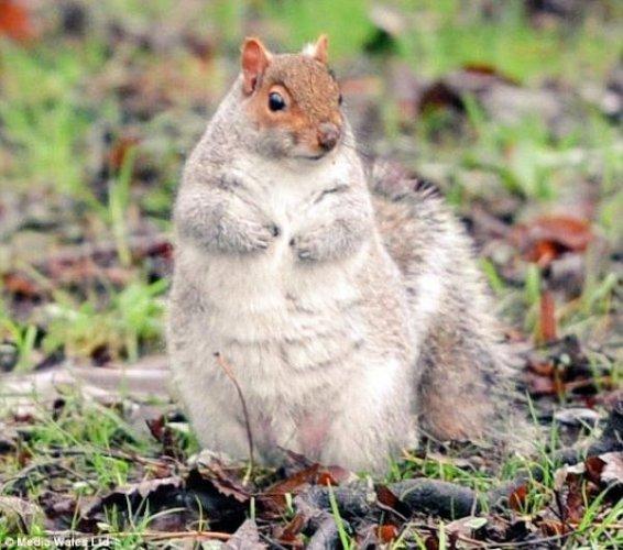 0113fat_squirrel3