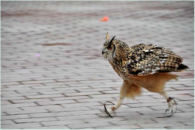 walkingowl (7)