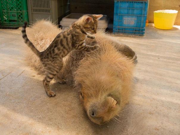 lovely_capybara (13)