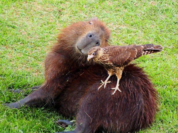 lovely_capybara (2)