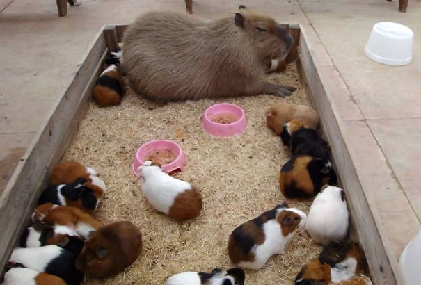 lovely_capybara (3)