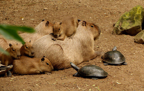 lovely_capybara (6)