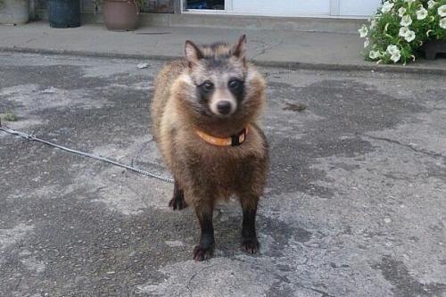 tanukidog