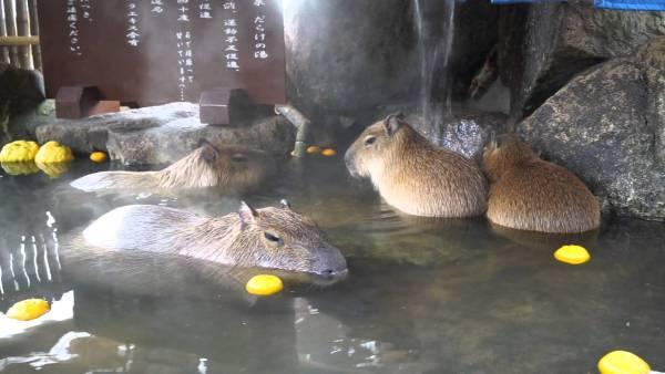 capybara_himejicentrapark4
