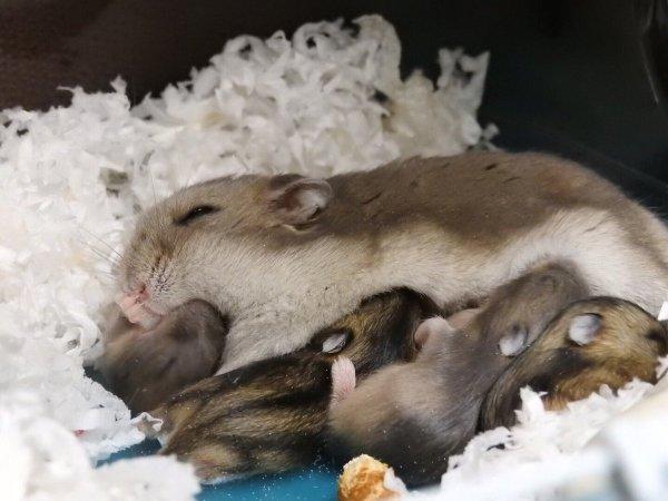 hamster_kyouso (3)