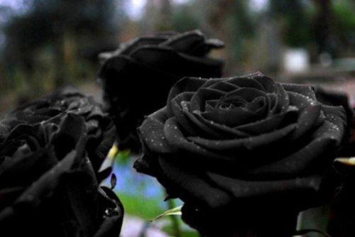 black_rose-4