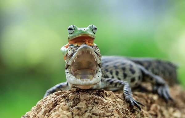 tantoyensen-frog-11