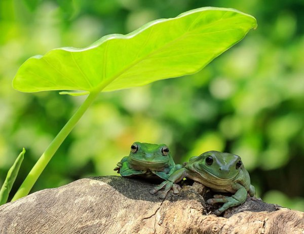 tantoyensen-frog-16