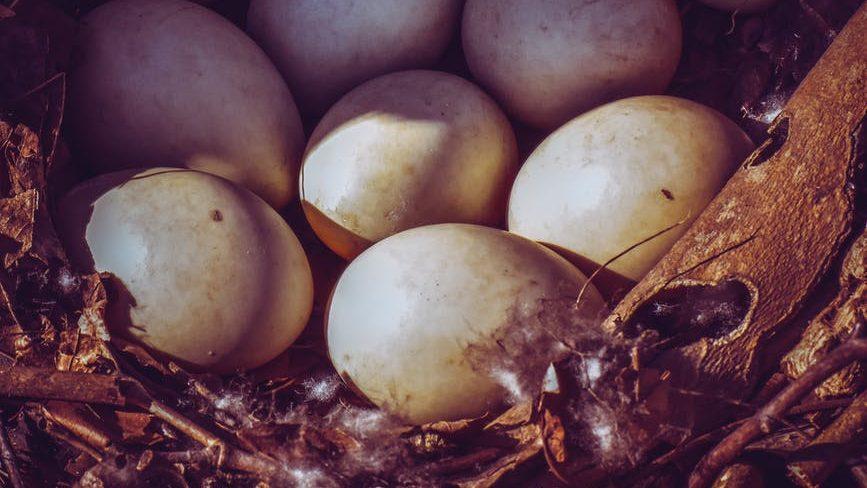 eggs in nest in sunlight