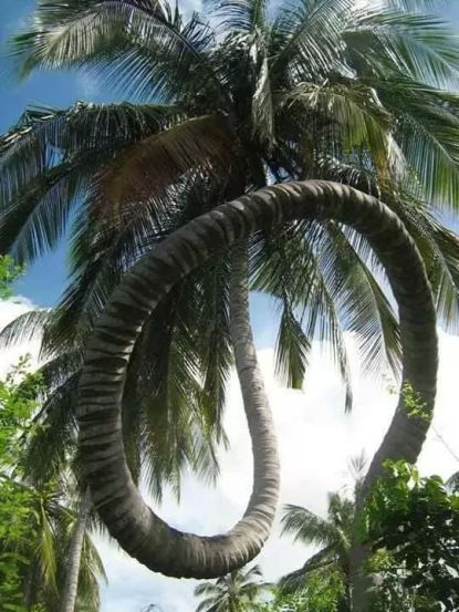 Amazing coconut tree