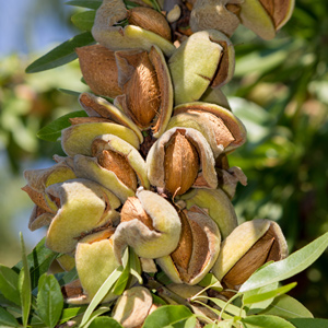 Almond tree badam ka ped in hindi