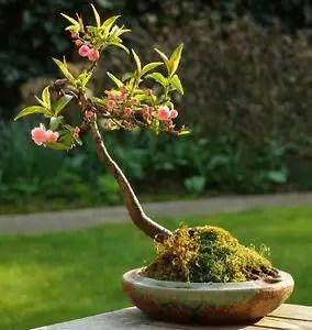 Almond Tree Badam ka ped