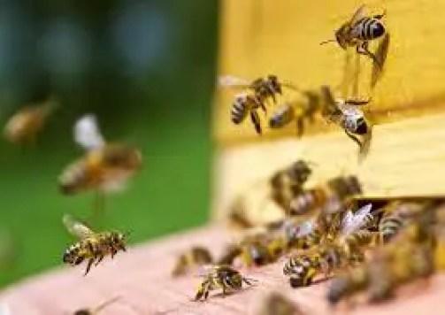मधु मक्खी का महत्त्व