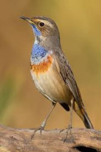 Migratory birds of India hindi, migratory birds coming to india hindi, list of winter migratory birds india, list of summer migratory birds india, Siberian crane hindi, bluethroat hindi, ruffs hindi, migratory birds routs hindi, pravasi pakshi, migratory birds ki jankari
