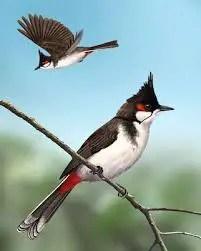 भारत में पाए जाने वाले सुन्दर पक्षी बुलबुल की जानकारी