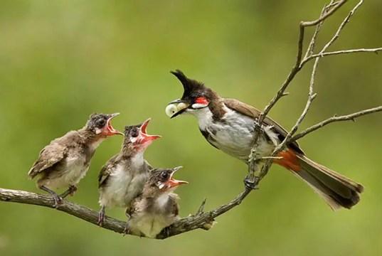 प्रकृति में बहुत से प्यारे सुंदर और मीठे गीत गाने वाले पक्षी पाए जाते हैं, इनमें से एक भारत में प्रमुखता से पाया जाने वाला सुंदर पक्षी बुलबुल भी है, यूं तो बुलबुल पक्षी की सैकड़ों प्रजातियाँ होती है जो कि विश्व भर में पाई जाती है इनकी अलग-अलग विशेषताएं होती हैं. भारत में Red whiskered bulbul (Pycnonofus jocosus) जिसे सिपाही बुलबुल भी कहा जाता है पाया जाता है, इसका यह नाम इसके सर पर पाए जाने वाले जाने वाली उठी हुई कलंगी की वजह से पड़ा है अंग्रेजी में इसे crested bulbul बुलबुल भी कहते हैं.