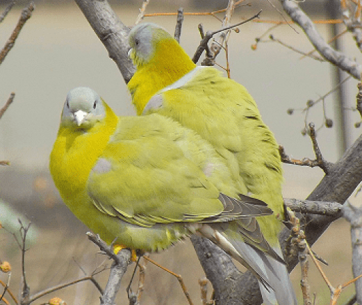 State bird of maharashtra hindi, essay on state bird of maharashtra hindi, hariyal pakshi, ellow footed green pigeon in hindi, hariyal ke ande, maharashtra ka rajy pakshi,
