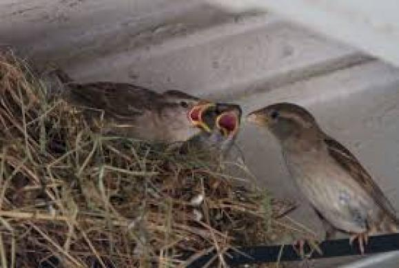 sparrow hindi, house sparrow hindi, essay on sparrow hindi, habitat of sparrow hindi, bird house hindi, save sparrow hindi, world sparrow day hindi