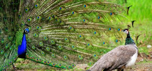 Peacock in hindi, peafowl hindi, essay on peafowl hindi, essay on peacock hindi, white peafowl hindi, peacock dances in rain hindi, national bird before peacock hindi, peacock facts hindi, peafowl facts hindi,