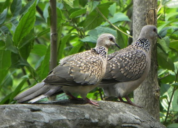 Spotted dove hindi, spotted dove in hindi, fakhta pakshi, ghughu pakhsi, gugu pakshi, ghughu bird in hindi, fakhta ki jankari, essay on indian bird hindi, fakhta name in english