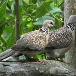 Spotted dove hindi, spotted dove in hindi, fakhta pakshi, ghughu pakhsi, gugu pakshi, ghughu bird in hindi, fakhta ki jankari, essay on indian bird hindi, fakhta name in english