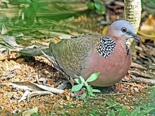"""Spotted Doves कबूतर परिवार का एक सुन्दर पक्षी है, इसे भारत में कई नामों से जाना जाता है जैसे कि पर्की, चित्रोक, फाख्ता, घुघु पक्षी इत्यादि, परंतु इसका सबसे प्रचलित नाम फाख्ता है, यह """"घु.. घु"""" की आवाज़ निकलता है, इसीलिए इसका नाम घुघु पक्षी भी पड़ गया है. यह एक सुंदर और शोर करने वाला पक्षी होता है. इसका वैज्ञानिक नाम Streptopelia chinensis है. यह सुंदर पक्षी लगभग सारे भारतीय उपमहाद्वीप पर पाया जाता है, कुछ पक्षियों को ले जाकर ऑस्ट्रेलिया, न्यूजीलैंड और अमेरिका में भी छोड़ा गया है इन जगहों पर भी इस पक्षी की संख्या बढ़ती जा रही है."""