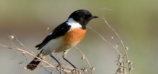 Common Stonechat hindi, stonechat hindi, stonechat bird hindi,  खरपिड्डा, पाषाण गोजा, himalaya birds hindi, birds of himalaya hindi, Saxicola torquatus hindi