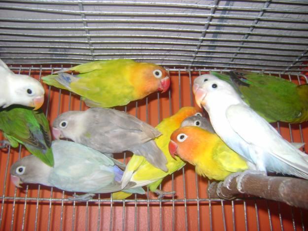 Love birds care in hindi, paltu love birds care, care of pet love birds hindi, pet love birds in hindi, how to take care of love birds in hindi, love birds kya khate he, kya love birds ko, love birds kis tapman me, love birds ka pinjra,