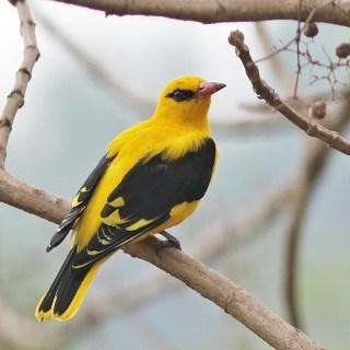 भारतीय सुनहरा ओरियल पक्षी, Indian golden oriole hindi, golden oriole hindi, oriole bird hindi, indian oriole bird, indian yellow bird.