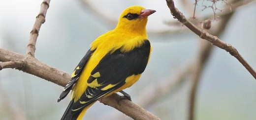 भारतीय सुनहरा ओरियल पक्षी,  Indian golden oriole hindi, golden oriole hindi, oriole bird hindi, indian oriole bird, indian yellow bird.