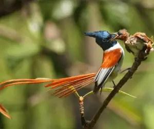 दूधराज पक्षी सुल्ताना बुलबुल है मध्य प्रदेश का राज्य पक्षी