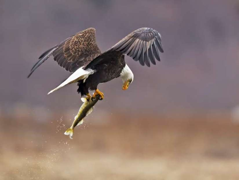 Bald eagle hindi, national bird of america, national bird of us, america ka rashtriya pakshi, ganja baaz, facts about bald eagle in hindi,