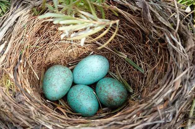 पक्षी घोंसला क्यों बनाते हैं? Why birds make nest hindi