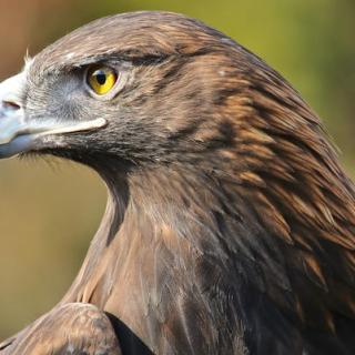 Golden eagle in hindi, hindi essay on golden eagle, national bird of Germany, germany ka rashtriya pakshi, golden eagle ki jankari,