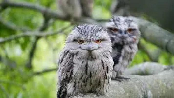 raatrichar pakshi, nishachar pakshi, nocturnal birds in hindi, raat me kon se pakshi, raat me gane wala pakshi, raat me jagne wala pakshi, night birds in hindi, essay on night birds hindi,